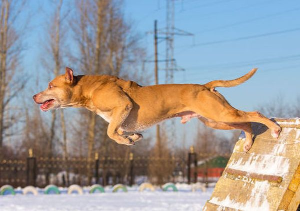Pit Bulls: Adorable Angels or Deadly Devils? (Part 2: It's a bird! It's a plane! It's a Pit Bull?)